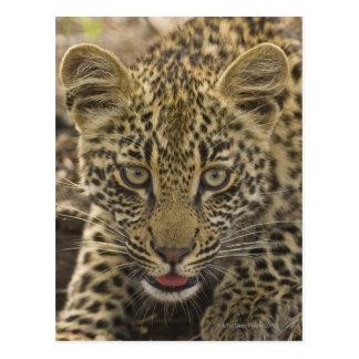 Nah oben vom Leoparden, größerer Kruger Postkarte