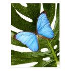 Nah oben von einem blauen Morpho Schmetterling auf Postkarte
