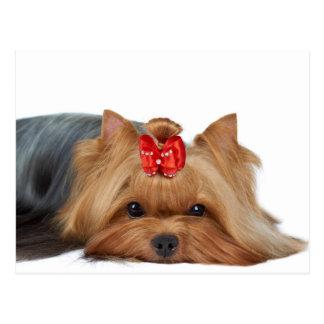 Nahaufnahme der Mündung Yorkshire-Terriers Postkarte