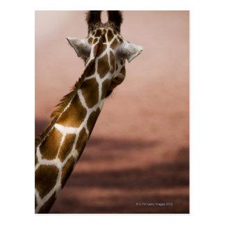 Nahaufnahme der somalischen Giraffe (Giraffa Postkarte