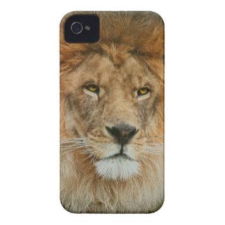 Nahes hohes majestätischen Löwes Südafrikas iPhone 4 Cover