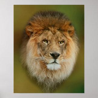 Nahes hohes majestätischen Löwes Südafrikas Poster