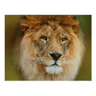 Nahes hohes majestätischen Löwes Südafrikas Postkarte