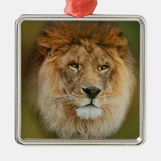 Nahes hohes majestätischen Löwes Südafrikas Silbernes Ornament