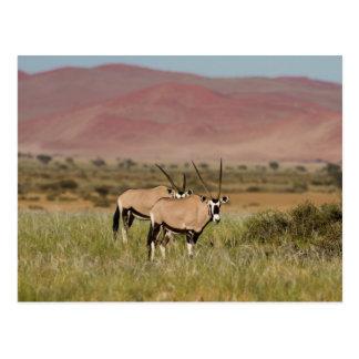 Namibia - Oryxantilopen an Sossusvlei Postkarte