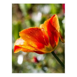 Nasse orange und gelbe Tulpe Postkarte