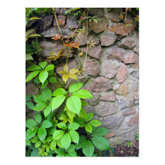 Nasse und grüne Trieb der wilden Trauben Postkarte