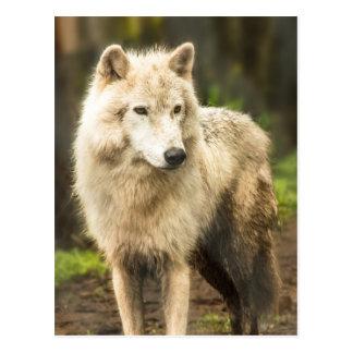 Nasser arktischer Wolf im Frühlings-Foto Postkarte