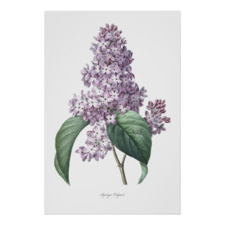 Natur, botanischer Druck, Blumenkunst der Flieder Poster