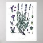 Natur, botanischer Druck, Blumenkunst des wahren Poster