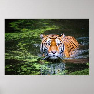 Natur-Tier-bengalischer Tiger in der Poster