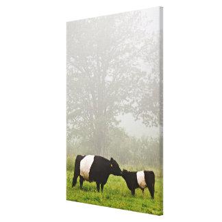 Nebelhafte Szene umgeschnallter Galloway-Kuh, die Gespannte Galerie Drucke