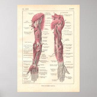 Nerven des Arm-Anatomie-Plakats auf französisch Poster