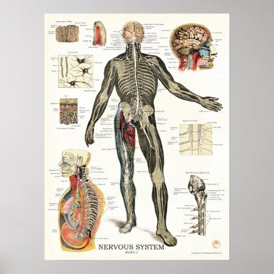 Nervensystem-Anatomie-Plakat 18 x 24 Poster   Zazzle