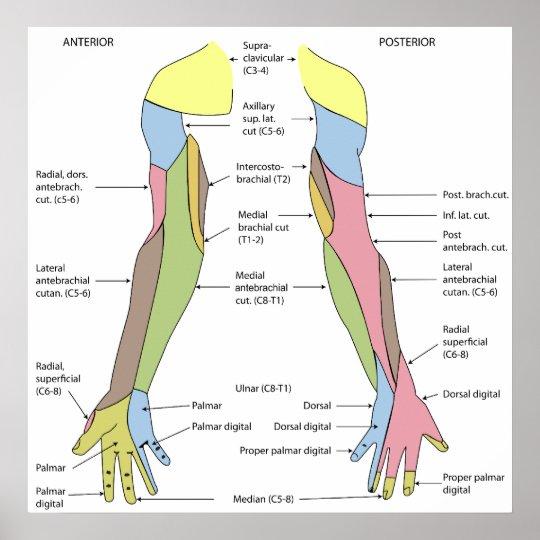 Nervensystem-Haut- Innervations-Recht-Glied Poster   Zazzle