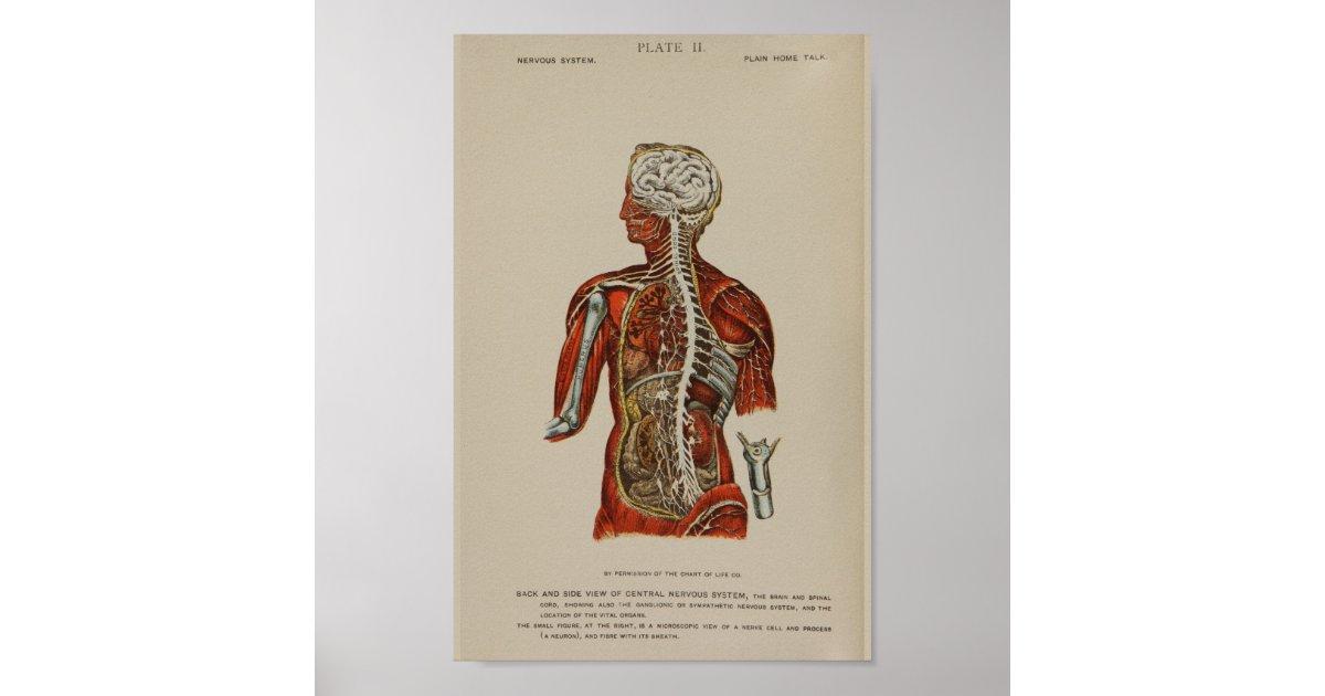 Berühmt Nerven Des Rücken Anatomie Ideen - Menschliche Anatomie ...