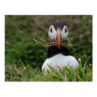 Nest-Erbauer-Papageientaucher Postkarte