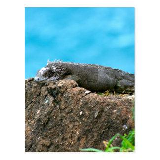 Netter schauender Leguan von St Thomas U.S.V.I Postkarte