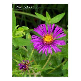 Neu-England Aster Symphotrichum Postkarte