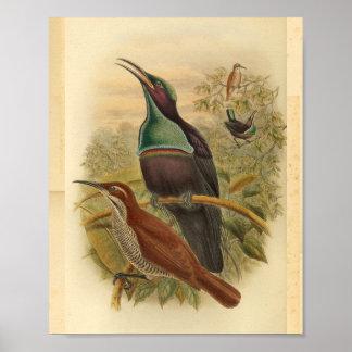 Neu-Guinea blauer Gewehr-Vogel-Vintager Druck Poster