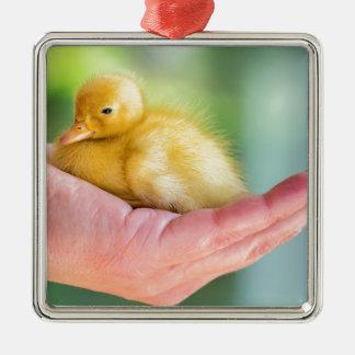Neugeborenes gelbes Entlein, das an Hand sitzt Quadratisches Silberfarbenes Ornament