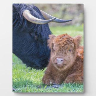 Neugeborenes schottisches Hochländerkalb mit Fotoplatte