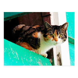 Neugierige Kaliko-Katze auf Aquamarineleiste Postkarte