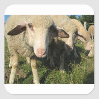 Neugierige Schafe Quadratischer Aufkleber