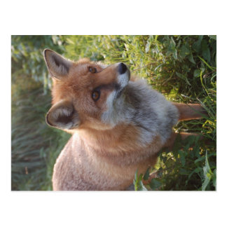 Neugieriger Fox Postkarte