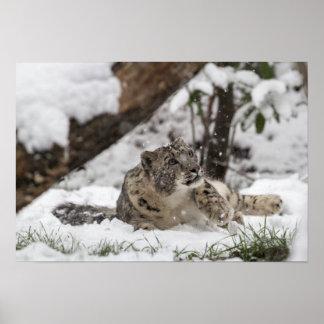 Neugieriger Schnee-Leopard im Schnee Poster