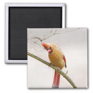 Neugieriger weiblicher Kardinals-Magnet Quadratischer Magnet