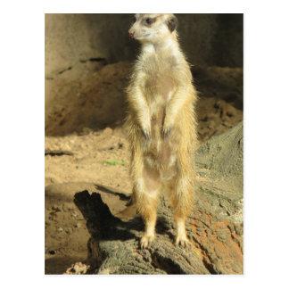 Neugieriges Meerkat Postkarte