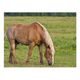 New-Brunswick, Kanada. Pferd auf dem Gebiet Postkarte