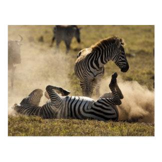 Ngorongoro Krater, Tansania, gemeiner Zebra, Equus Postkarte