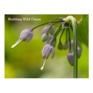 Nickende wilde Zwiebel-Namen-Wildblume-Postkarte Postkarte