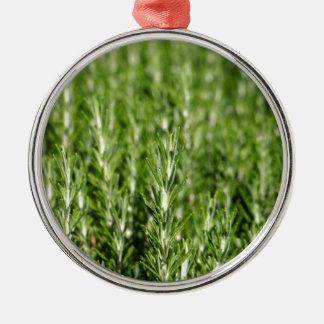 Niederlassungen Rosemarys (Rosmarinus officinalis) Silbernes Ornament