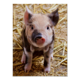 Niedliche Baby-Ferkel-Viehbarnyard-Babys Plakatdrucke