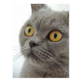 Niedliche britische Shorthair Katze Postkarte