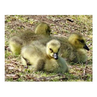 Niedliche flaumige gelbe Baby-Kanada-Gans-Gänschen Postkarte