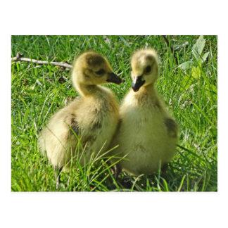 Niedliche gelbe Baby-Kanada-Gänsegoslings-Paare Postkarte