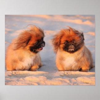 Niedliche Pekingese Hunde Poster