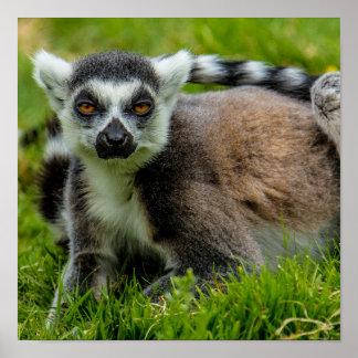Niedliche Ring-Schwanz Lemur-Entwurfsprodukte Poster