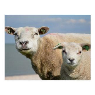 Niedliche Schafe Postkarte