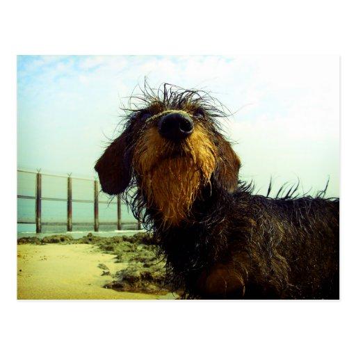 Niedliche wiredhair Dackel am Strand Postkarten