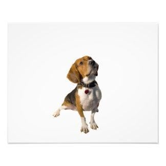 Niedlicher Beagle-Hund Fotodrucke