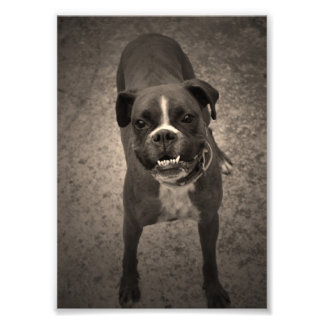 Niedlicher lustiger Boxer-HundeFoto-Druck