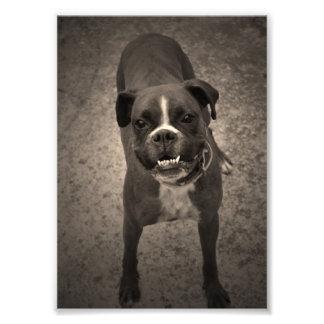 Niedlicher lustiger Boxer-HundeFoto-Druck Photodrucke