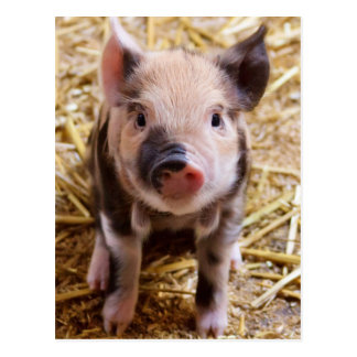 Niedlicher Pic eines Baby Schweins Postkarte