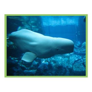 Niedlicher Playful Weißwal-Wal im Aquarium bei Postkarte