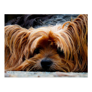 Niedlicher Yorkshire-Terrier-Hund Postkarte